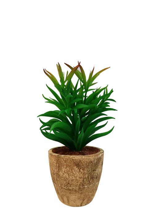 Cactus Aguja de pino