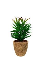 Cactus Aguja de pino - Verde