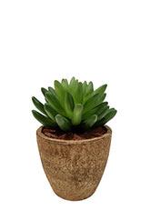 Cactus Ovata Gollum - Verde